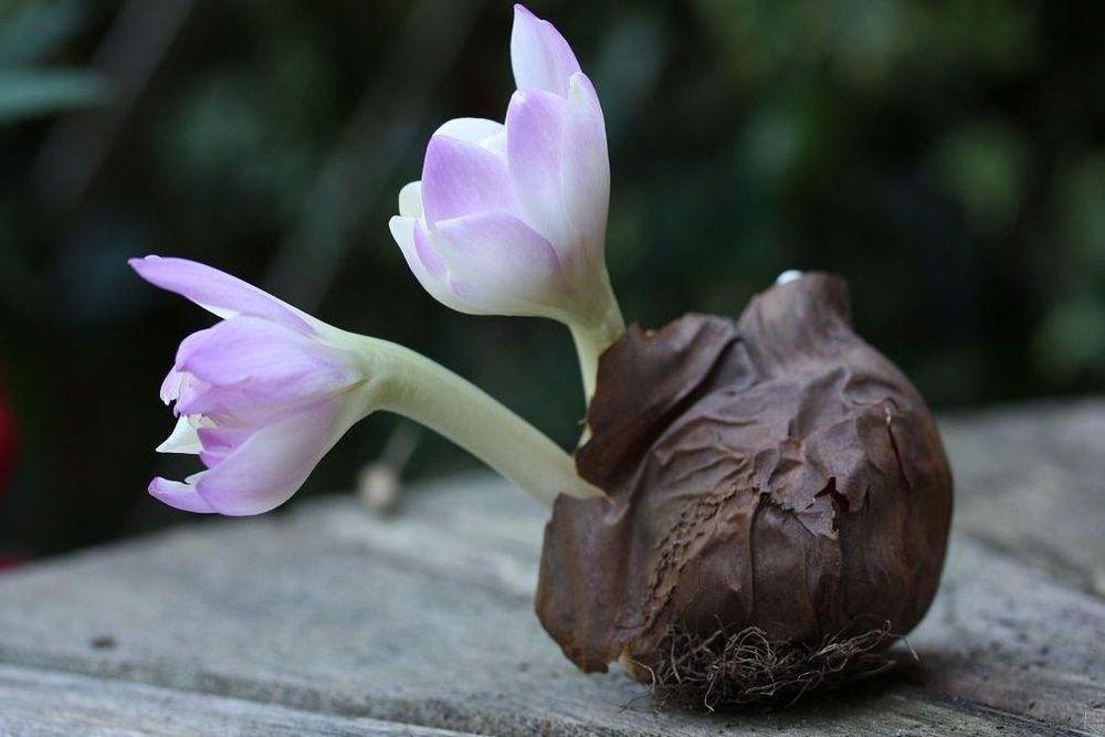 Выгонка цветка