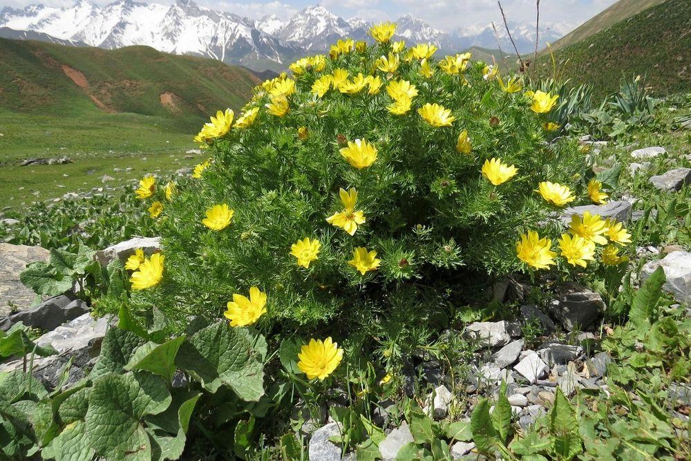 Адонис туркестанский