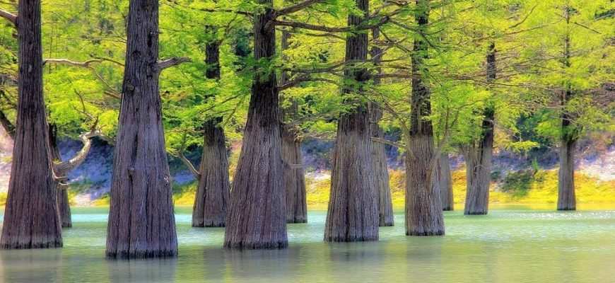Кипарис болотный