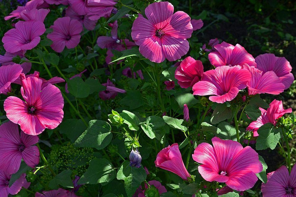 Лаватера: описание растения