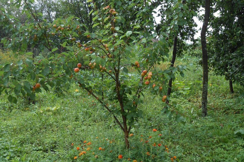 Место для посадки абрикоса