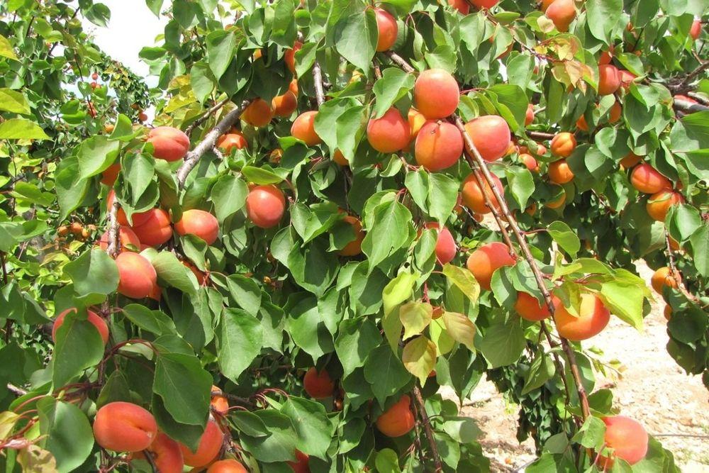 Содержание плодового дерева