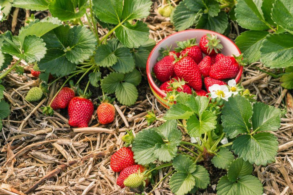 Уход за ягодами осенью