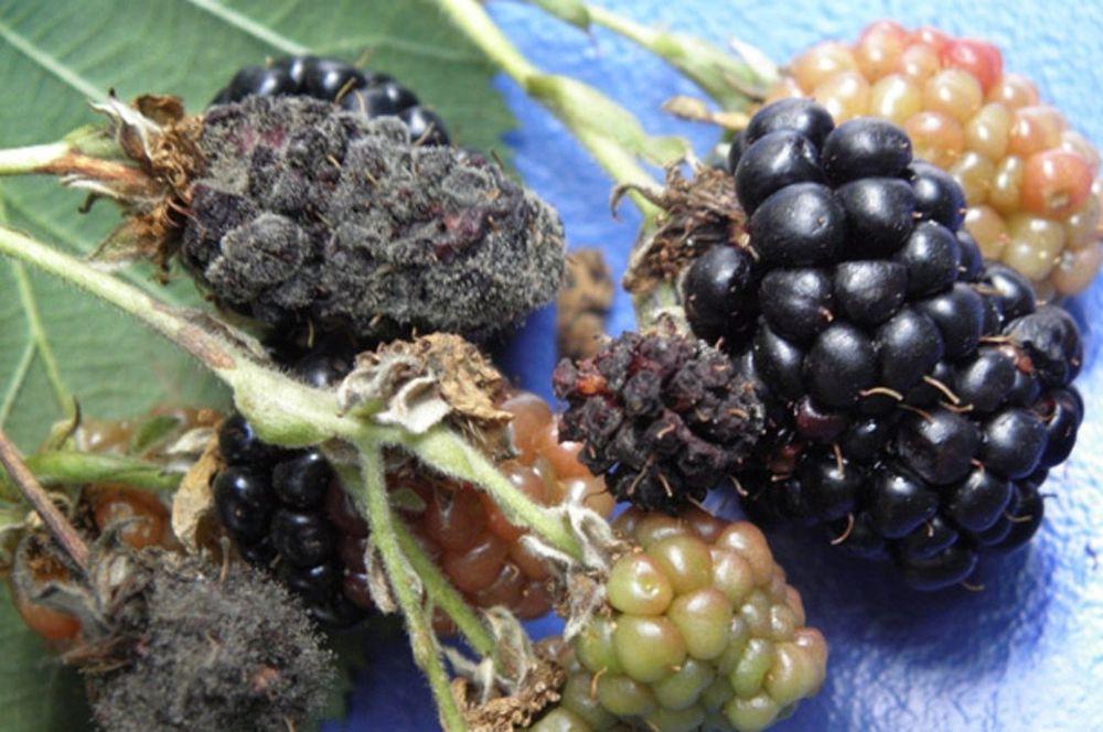 Вредители ягод