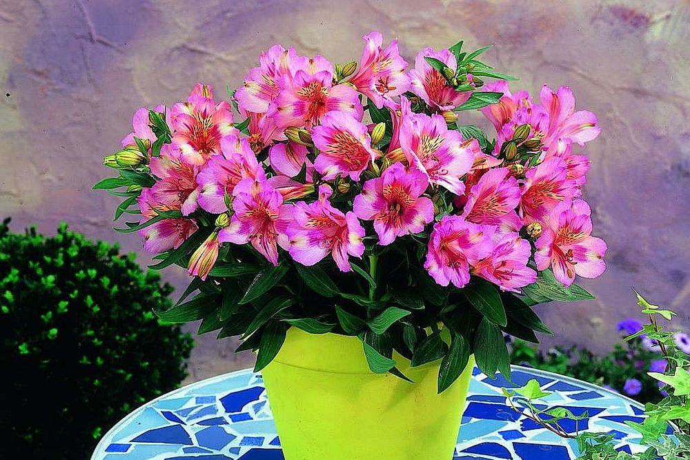 Princess lilies