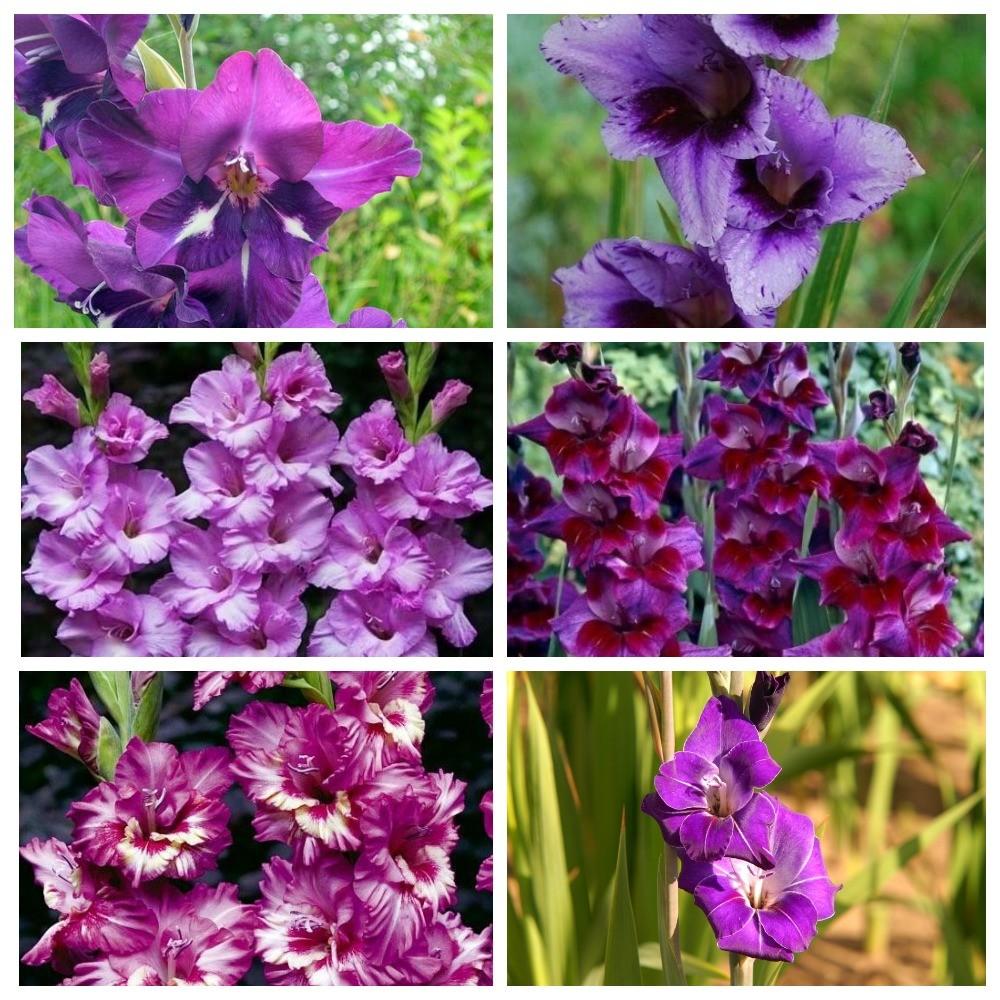 Сиренево-лиловые сорта
