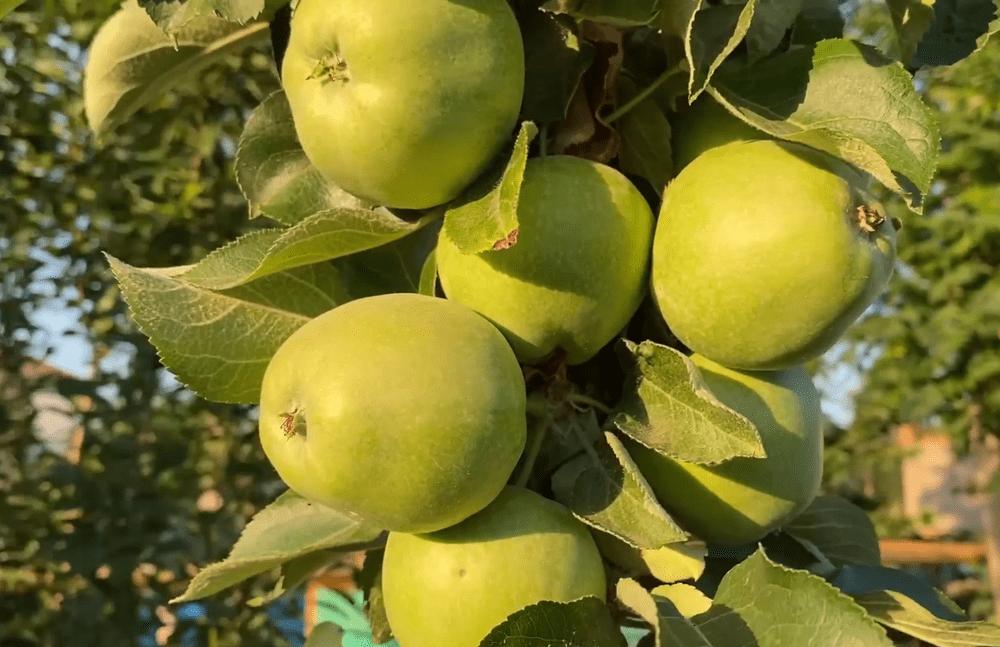 Карликовые колонновидные яблони: уход