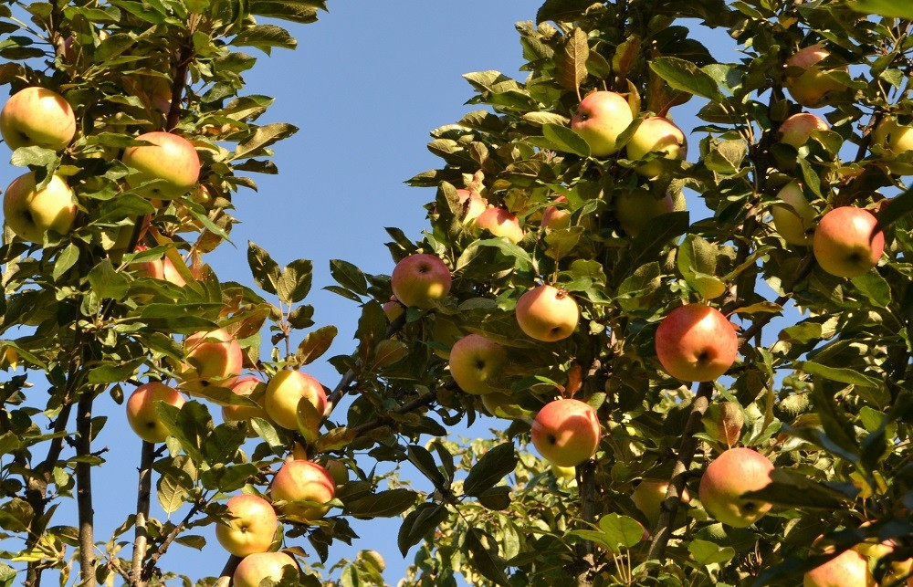 Колонновидная яблоня Президент