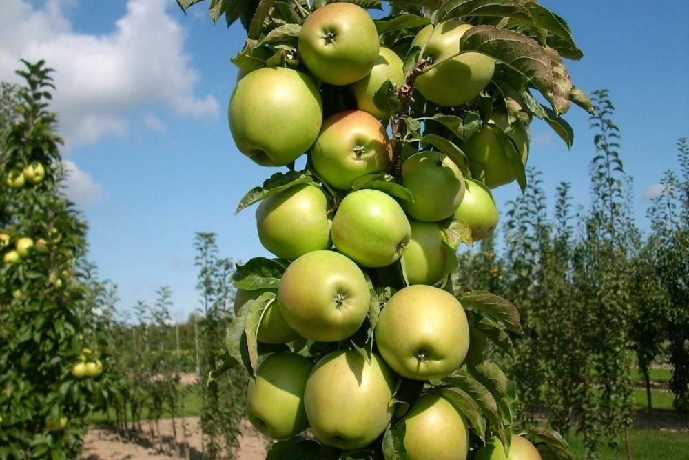 Колонновидная яблоня