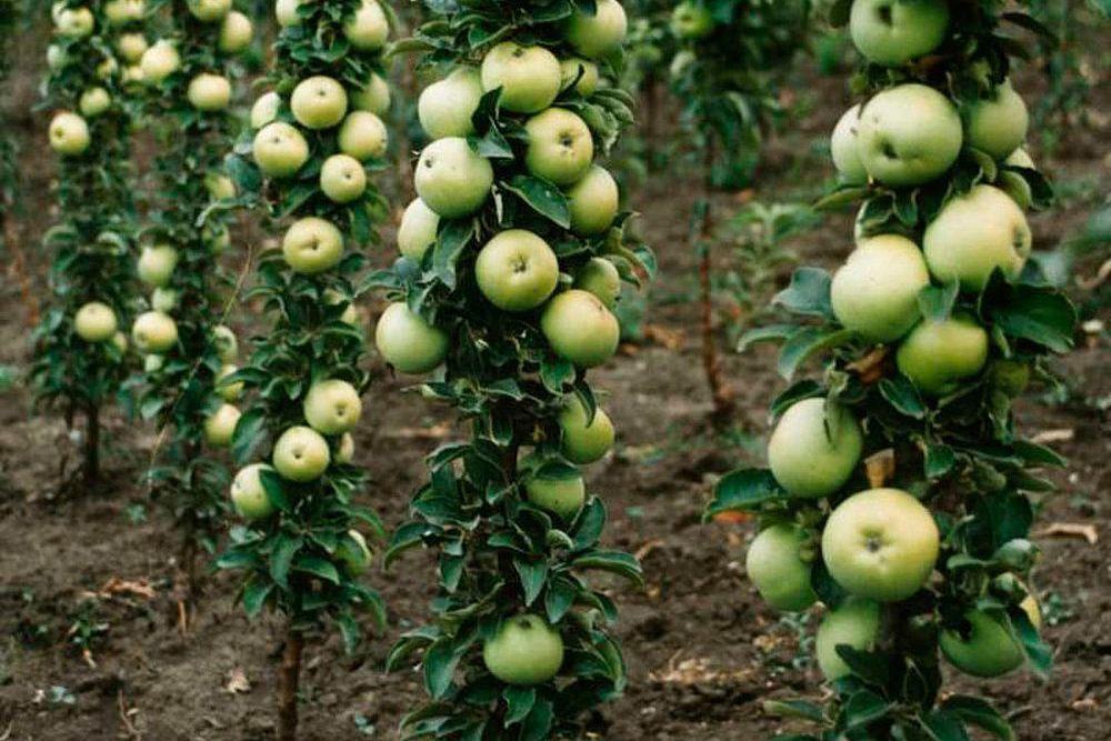 Подвои колонновидной яблони