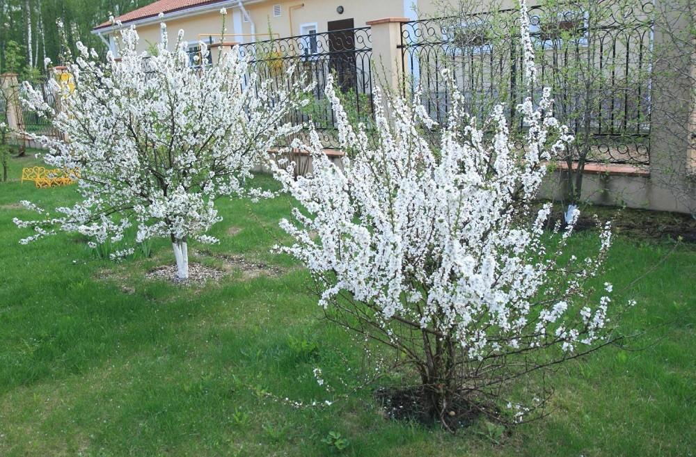 Посадка войлочной вишни