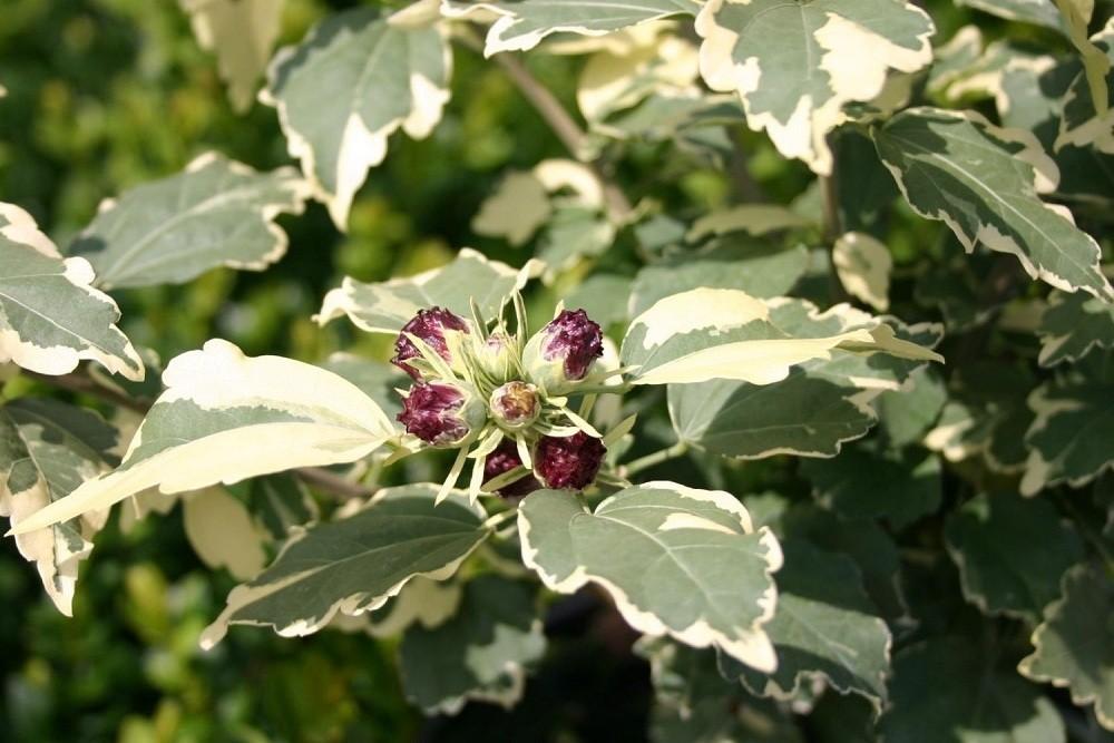 Пурпуреус вариегатус