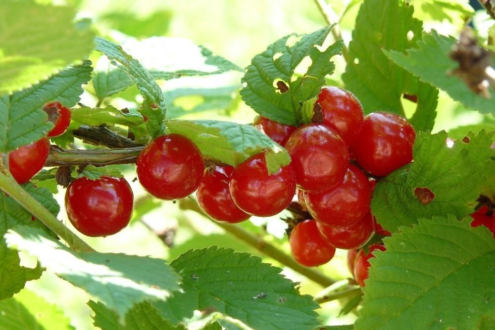 Сорт вишни Лето