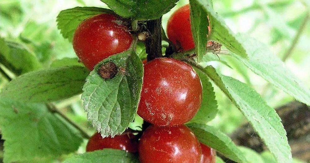 Вредители вишневого куста