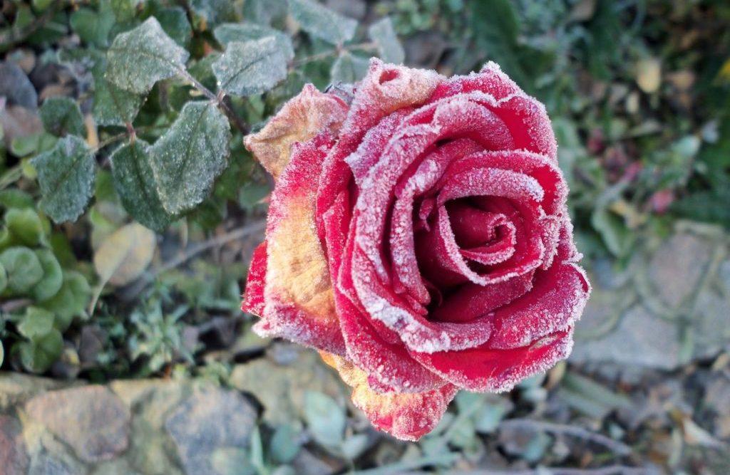 Болезни вредители розы