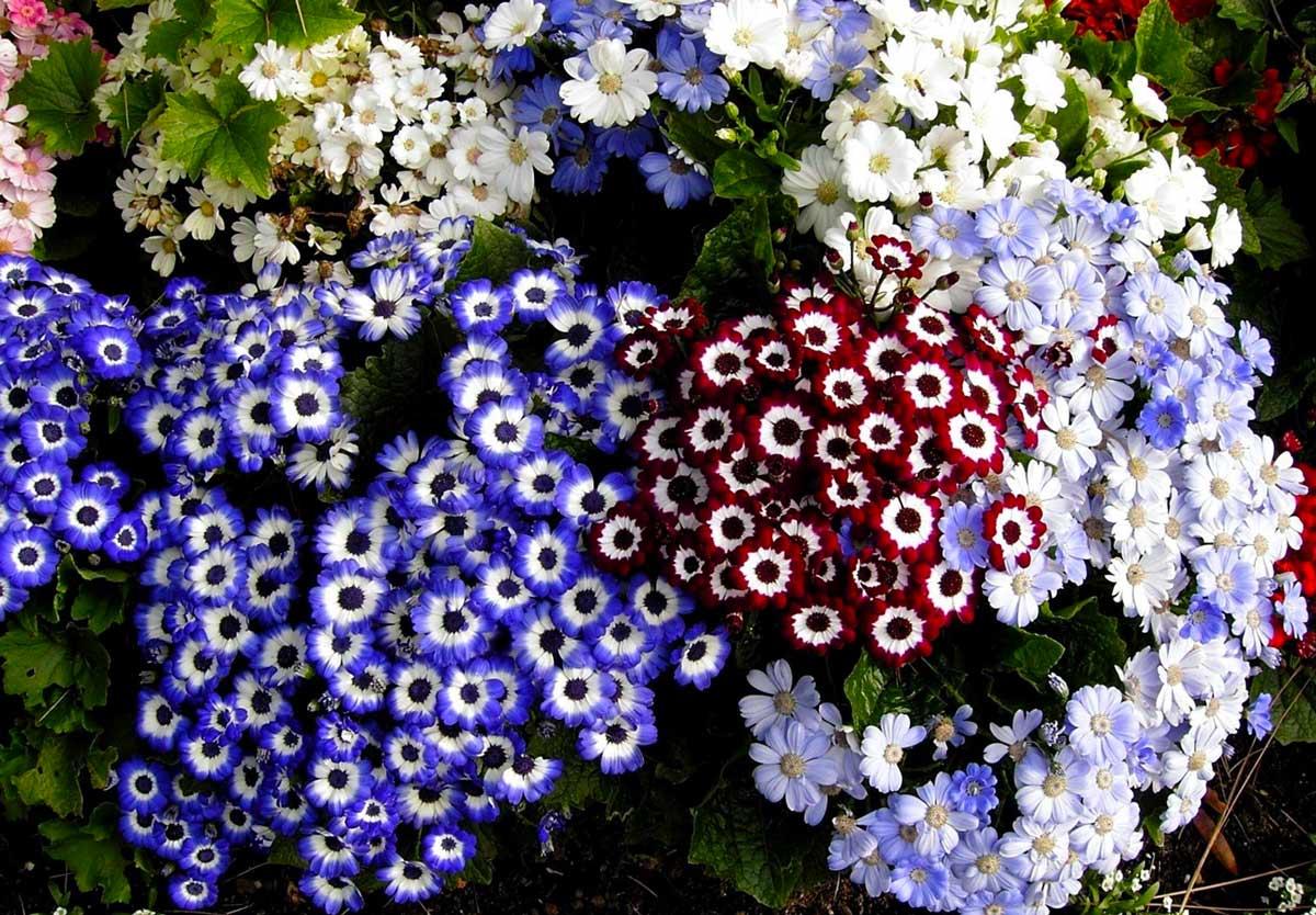 Цинерария: описание расцветки