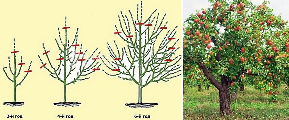 Формирование кроны яблони