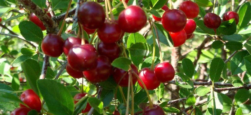 Любская вишня