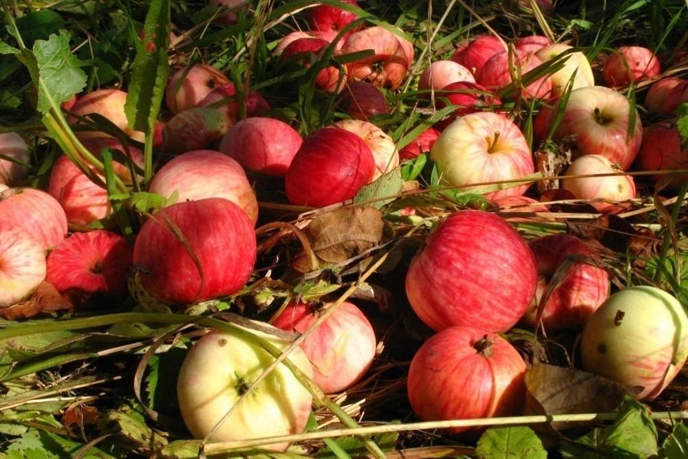 Опавшие плоды