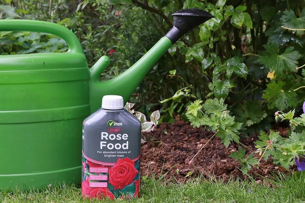 Подкормка розы сантаны