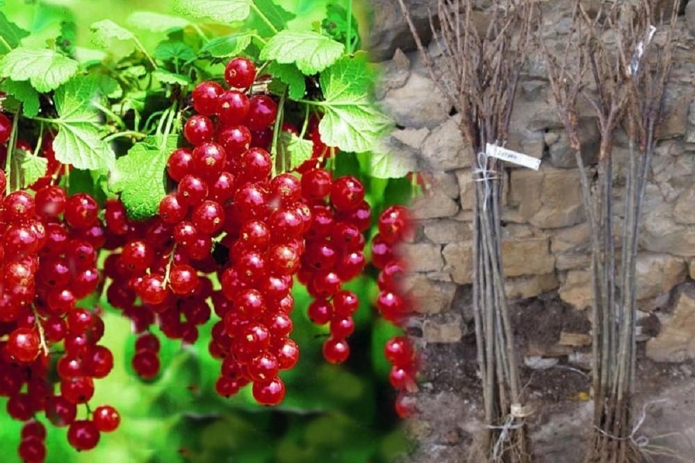 Саженцы ягодного кустарника