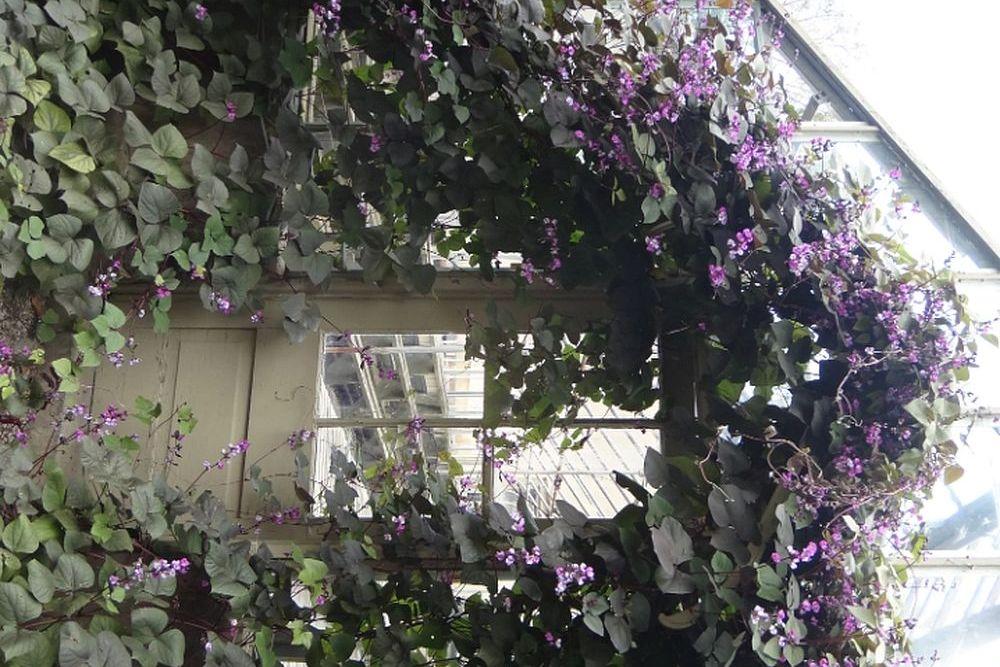 Сорт Фиолетовая гирлянда
