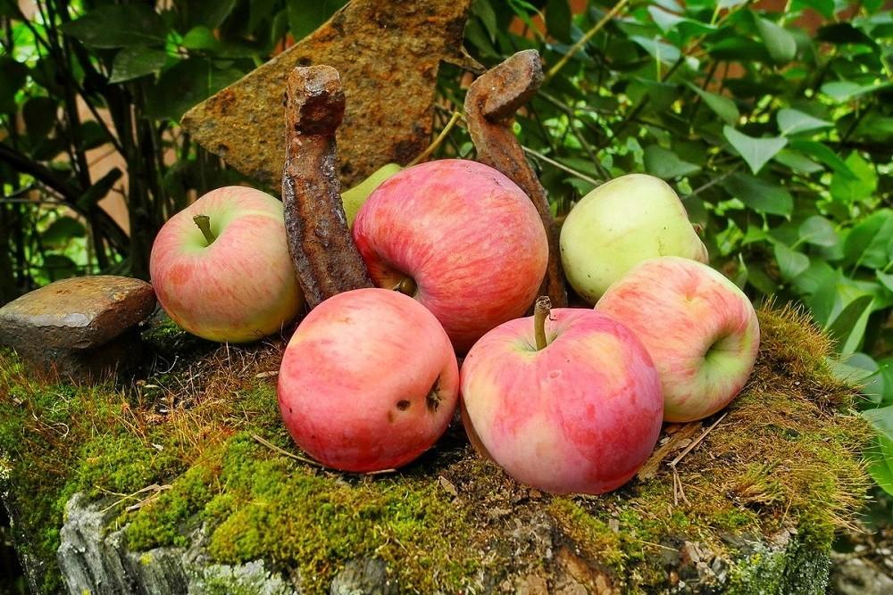 Яблоня мельба: описание