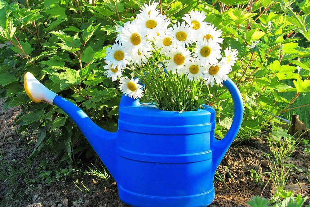 Как поливать ромашник