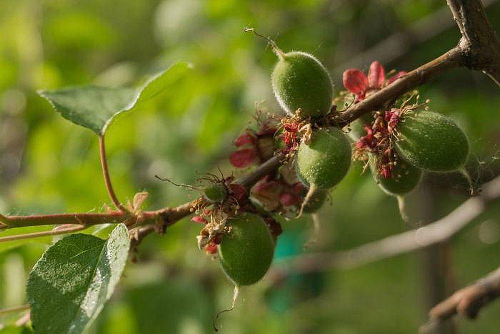 Опылители абрикоса