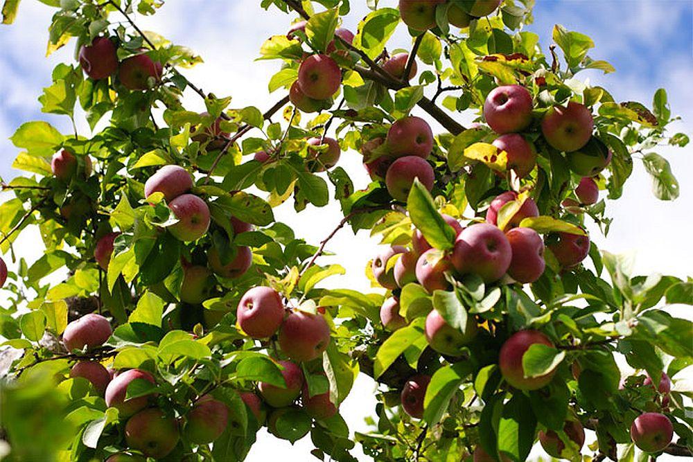 Плоды лобо