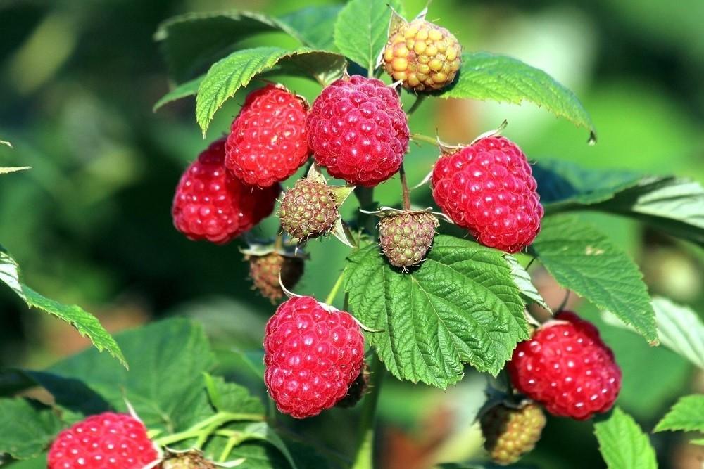 Плоды малины