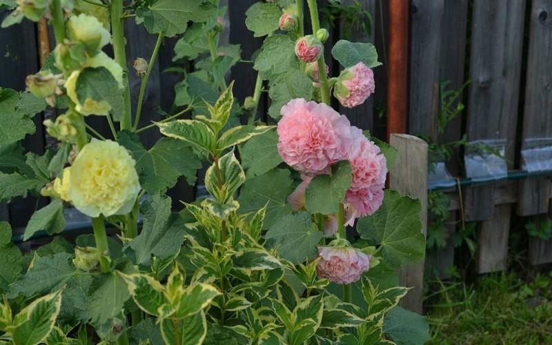 Сорта шток розы