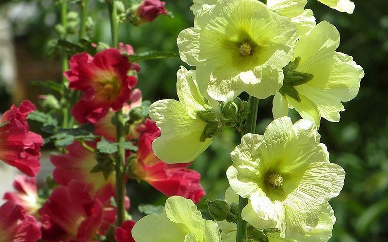 Шток роза в саду
