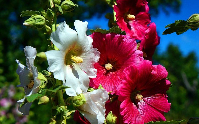 Разновидности шток розы
