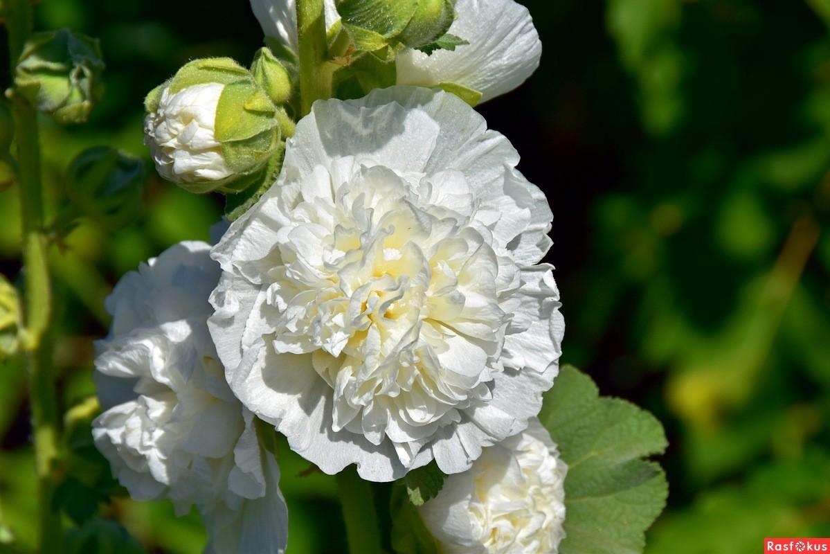 белая шток роза