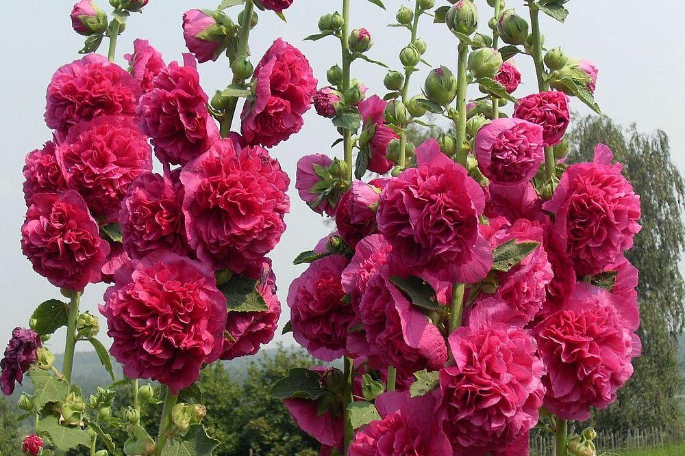 Шток роза: описание