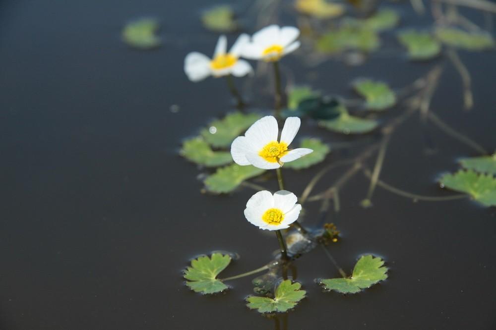 Водяной болотный