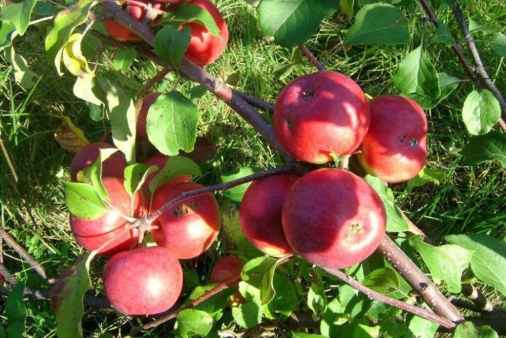 Яблоня лобо: описание