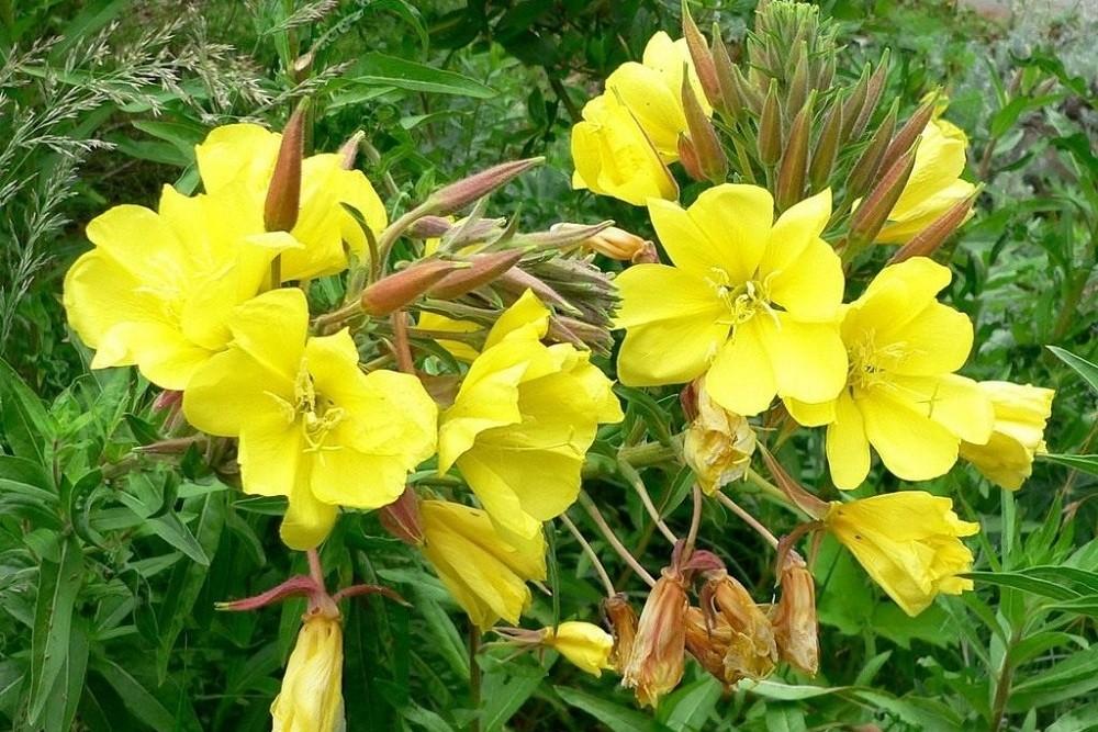 Цветуая энотера