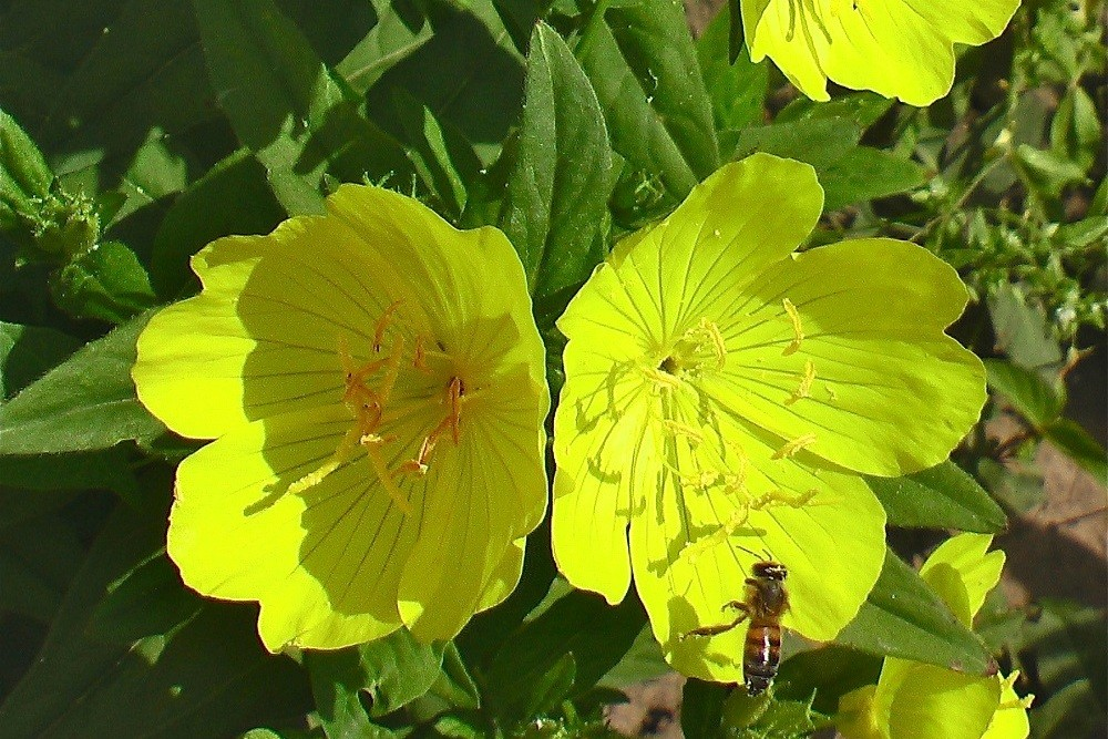 Крупноцветковая лимонная