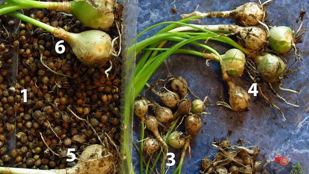 луковицы орнитогалума