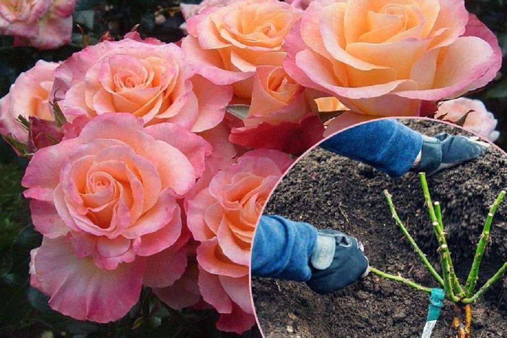 Посадка розы в открытый грунт