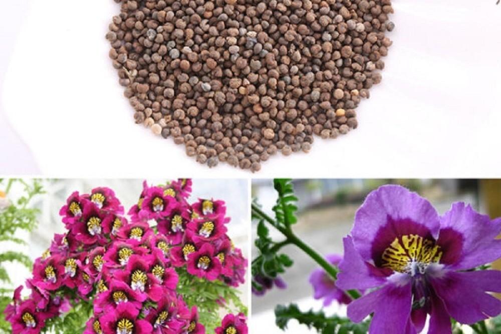 Семена схизантуса