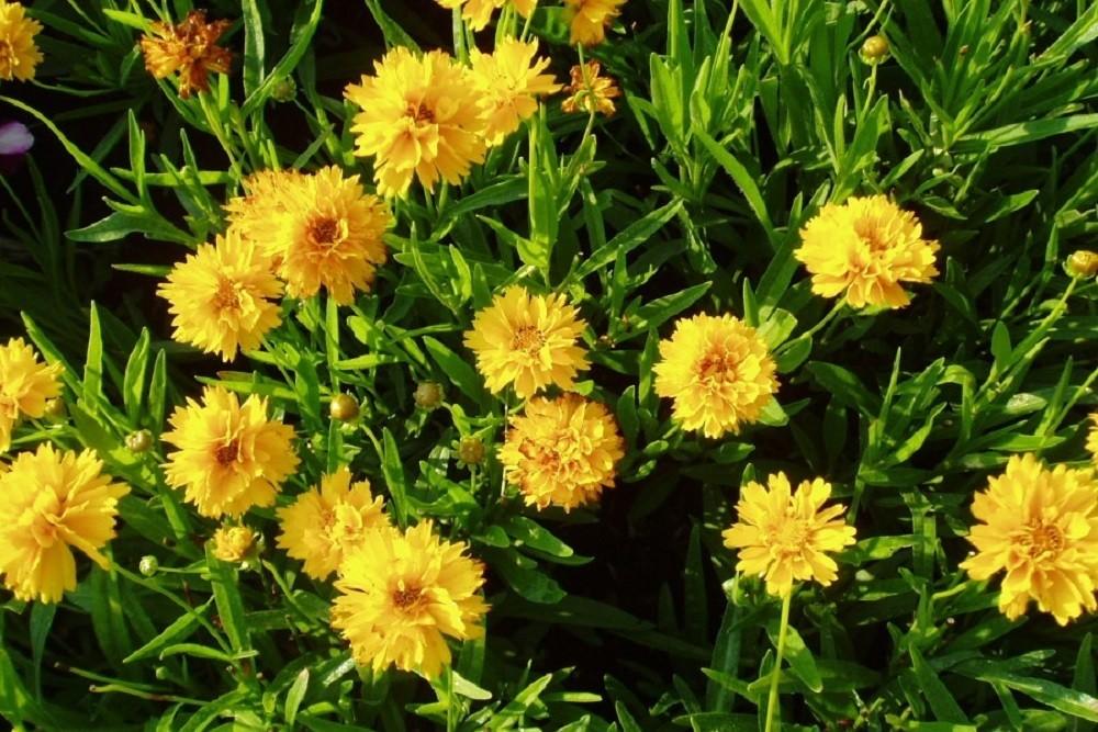 крупноцветковый тюрингия