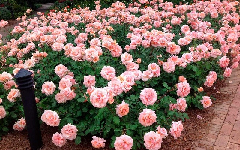 Посадка из роз