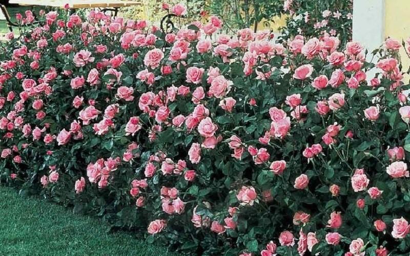 Роза в дизайне сада