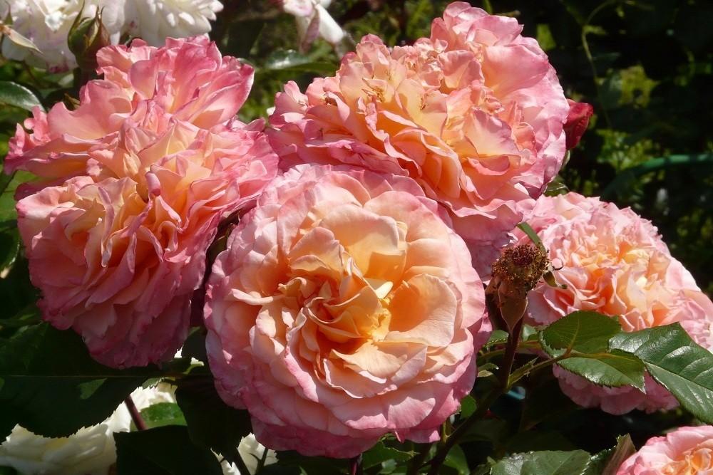 Окрас лепестков розы августы