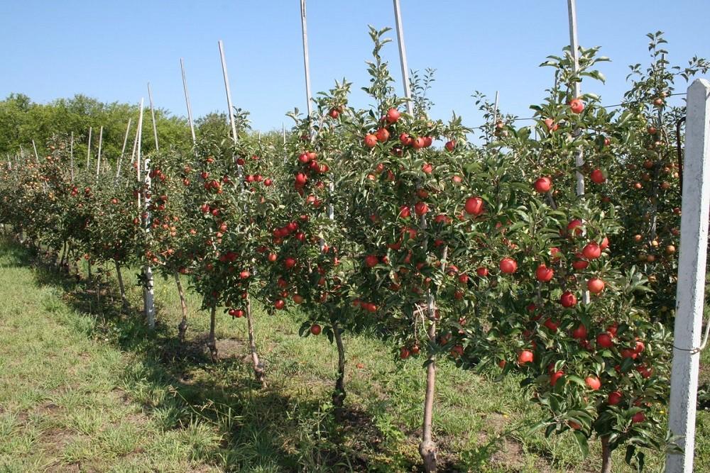 Подвои яблони