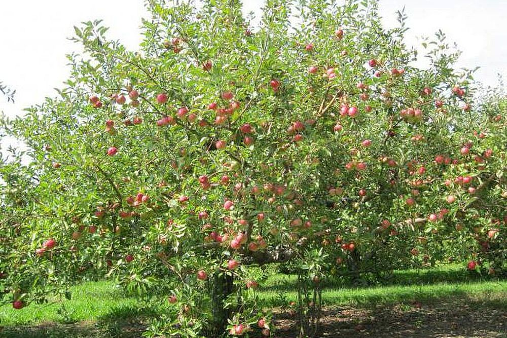 Размеры яблони