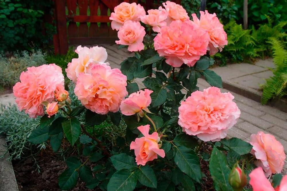 Роза августа: описание